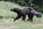 Medvědi i rosomáci v zoo se rozrostli o Bruna a Vasila.