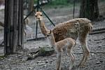 V brněnské zoo se v sobotu narodilo mládě lamy vikuně.