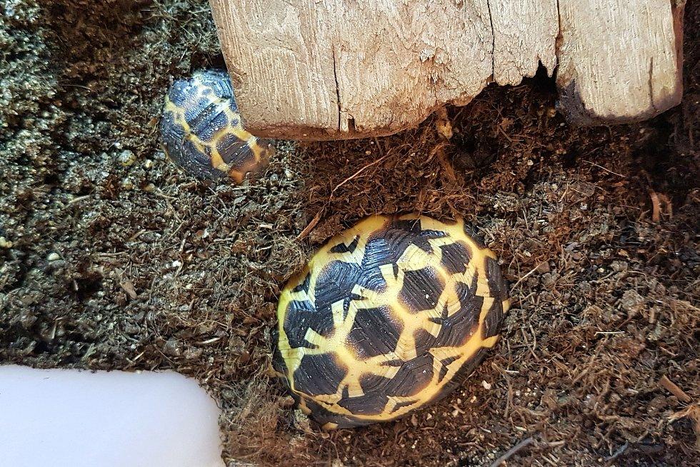 Mládě želvy pavoukovité v brněnské zoo.