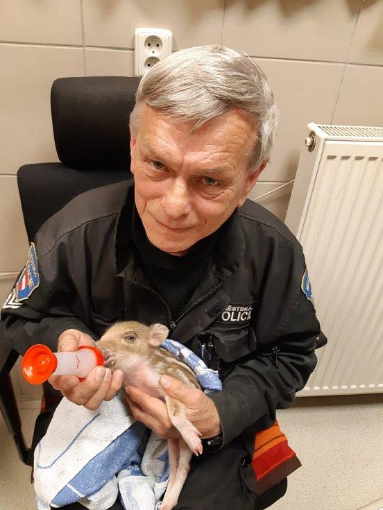 Život čerstvě narozené samičky divočáka zachránil odchytář brněnské městské policie Pavel Antonín.