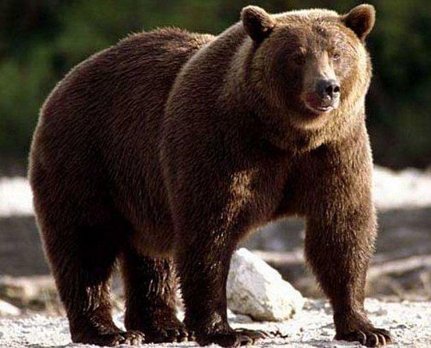 Medvěd kamčatský (Ursus arctos beringianus) je jeden z největších poddruhů medvěda hnědého.