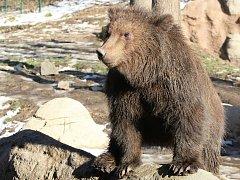 Kamčatská medvíďata Toby a Kuba z brněnské zoologické zahrady slaví rok.