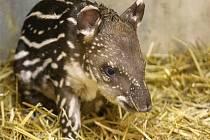 Mládě tapíra v brněnské zoo.