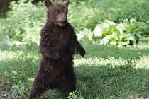 Pokřtěno. V sobotu v pravé poledne se sešlo několik desítek lidí v brněnské zoologické zahradě, aby přihlíželo dvojitému křtu. Medvědi i rosomáci v zoo se tak rozrostli o Bruna a Vasila.