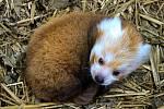 V Zoo Brno přivítali první odchované mládě pandy červené