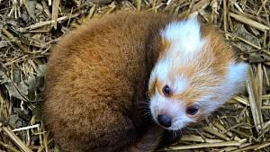 V Zoo Brno přivítali první odchované mládě pandy červené.