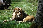 Lví mláďata dostala v neděli odpoledne v brněnské zoo při křtu jména Akashinga a Anoona.