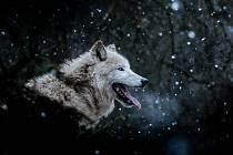 Fotografie vlka arktického z brněnské zoo zabodovala v soutěži Czech Nature Photo, kde v kategorii Zvířata v lidské péči získala druhé místo.