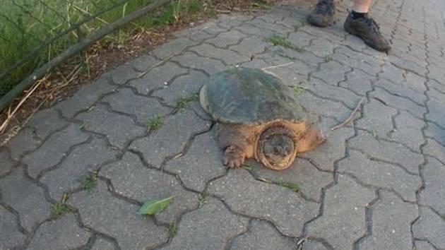 Půlmetrová želva na parkovišti v Husovicích byla vyčerpaná, skončila v péči veterinářů.
