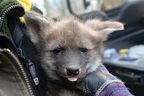 Tři mláďata vlka hřivnatého má nově brněnská zoologická zahrada.