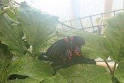 Stovky orchidejí i několik druhů tropických motýlů si zájemci prohlédnou v březnu v Botanické zahradě a arboretu Mendelovy univerzity v Brně.