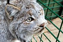 Samička rysa kanadského v brněnské zoologické zahradě.