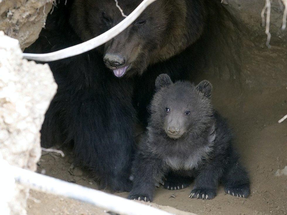 Mládě kamčatského medvěda v brněnské zoo.