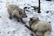 Zimní šampionát zvířat v brněnské ZOO -  liška polární.
