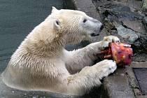 Narozeniny ledního medvěda Nanuka v brněnské zoo.