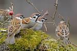 Mapování a fotografování ptáků může být velké dobrodružství. Na snímku vrabec polní.
