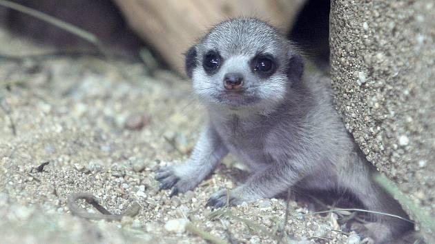 V brněnské zoologické zahradě se těší z přírůstku surikat.