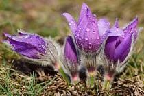 Koniklec velkokvětý je silně ohrožený rostlinný druh a v České republice původně rostl pouze na jižní Moravě.
