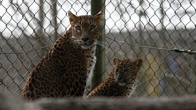 Levhartí mláďata dostala od svých kmoter jména Aruni a Ashango