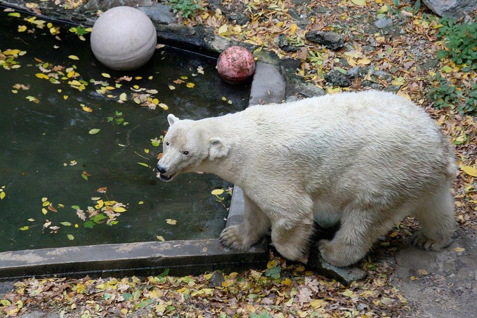 Medvědice Cora v brněnské ZOO