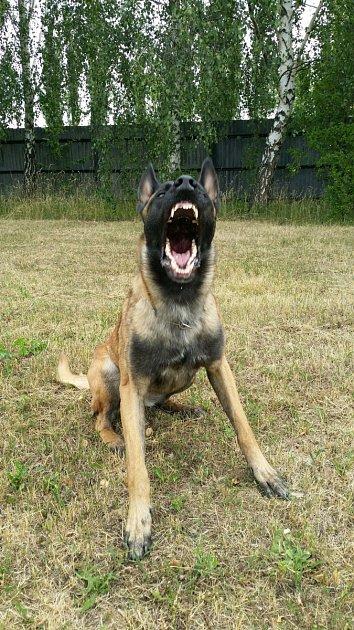 Policejní pes Carlos.