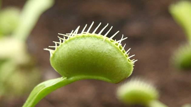 Masožravá rostlina. Ilustrační foto.