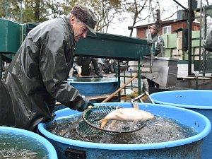 Výlov Vrkoče: rybím rekordmanem se stal jedenašedesátikilový sumec Pepa