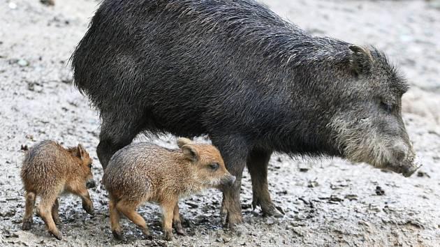 Nově narozená mláďata pekari v brněnské zoologické zahradě.