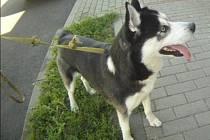 Pes kaskadér vyskočil v Líšni z okna. Zachránil ho náhodný svědek
