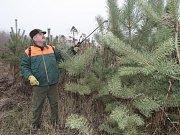 Lesní dělník Roman Kus potírá stromy repelentem, nebo je záměrně poškodí. Zloděje pak nelákají.
