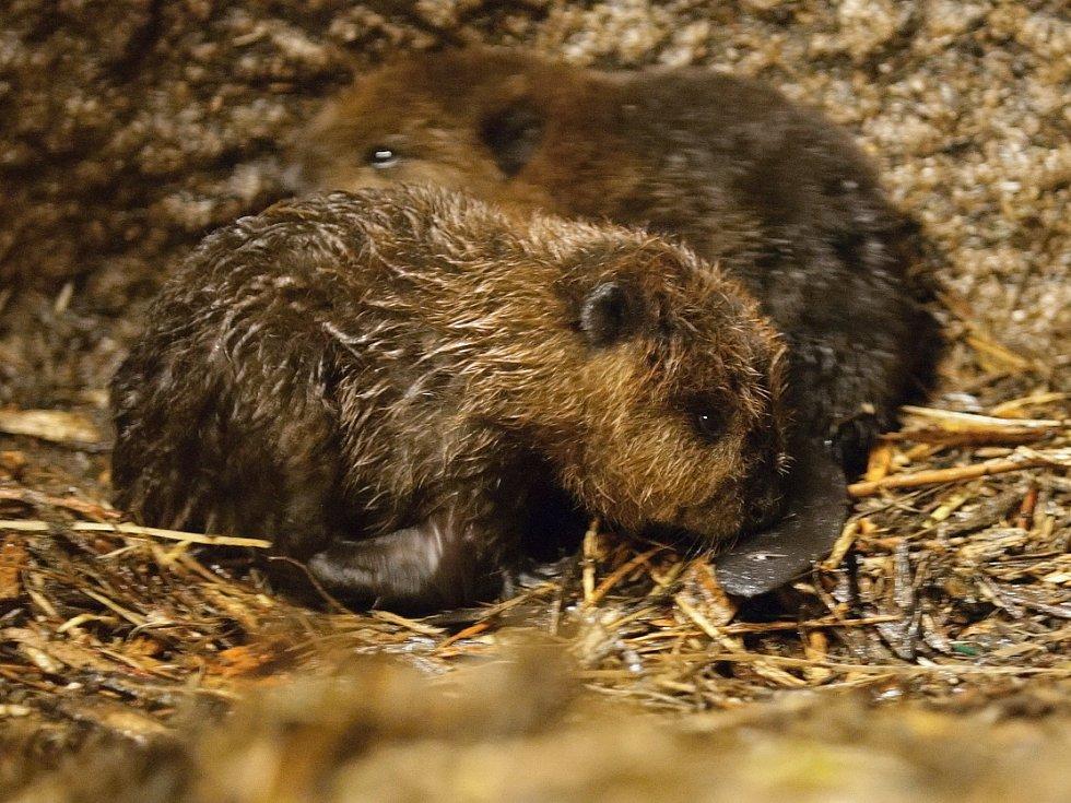 Početná rodina bobrů kanadských z brněnské zoologické zahrady se v červnu rozrostla o další čtyři malé členy.
