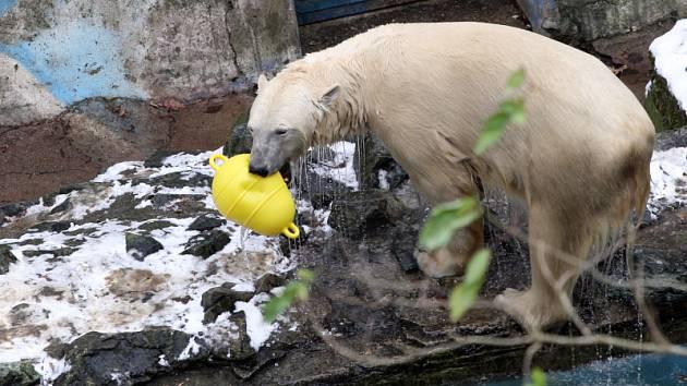 Dvě brněnská medvíďata Bill a Tom oslavila první narozeniny.