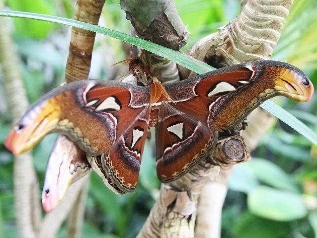 Motýlí obr z jihovýchodní Asie s rozpětím křídel až třicet centimetrů.
