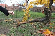Zničený vinohrad