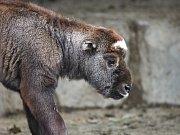 Do stáda takinů indických v brněnské zoo přibyla malá samička, která dostala jméno Chica.