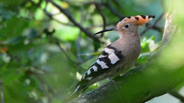 Mapování a fotografování ptáků může být velké dobrodružství. Na snímku dudek chocholatý.