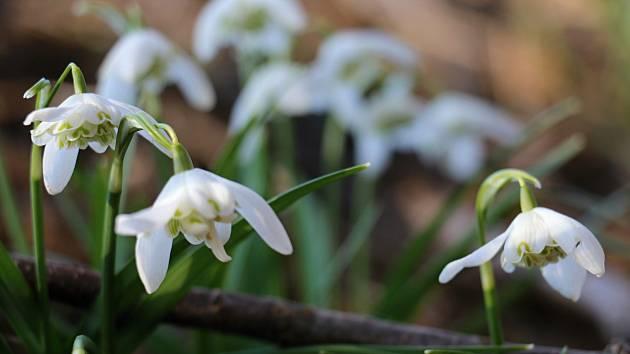 Sněženky jsou posly jara. Ilustrační snímek.