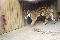 Tygr v brněnské zoo.