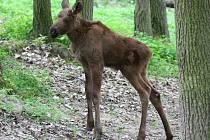 Z nového přírůstku se od konce dubna těší brněnská zoologická zahrada. Narodilo se tam mládě losa evropského.