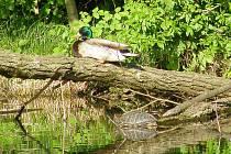 Autor fotografie původně fotil divokou kachnu, až doma si všiml, že je na obrázku i želva.