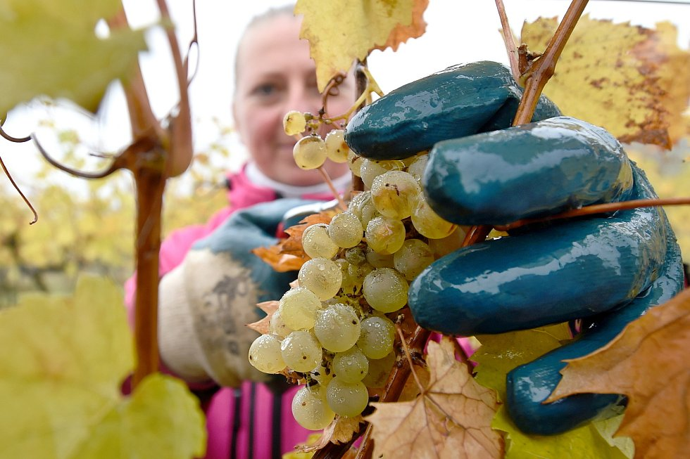 Sběr hroznů ve vinohradu vinařství Víno je Svoboda ve Velkých Bílovicích.