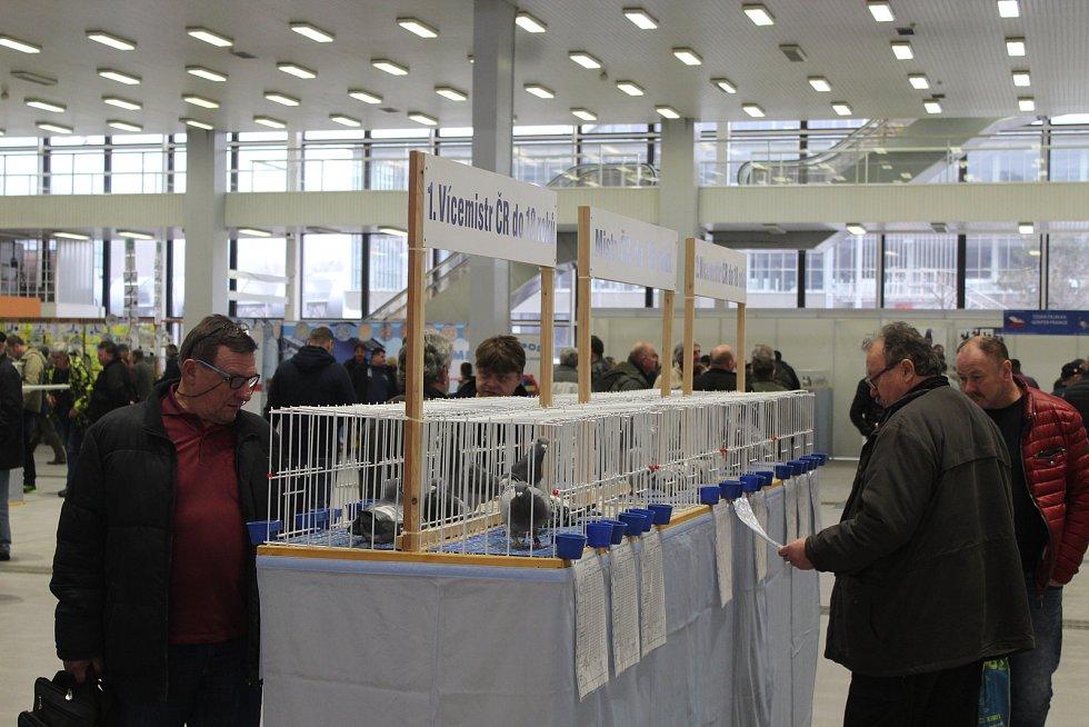 Na brněnském výstavišti vystavují chovatelé z jedenácti středoevropských zemí své poštovní holuby.