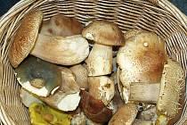 Houbaři nosí v košících z lesa převážně hřiby dubové. Ostatní druhy hub rostou spíš sporadicky.