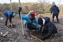 Výsadba sazenic v lesích Školního lesního podniku Křtiny.