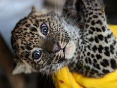 V listopadu narozená mláďata levharta cejlonského dobře prospívají a rostou jako z vody.