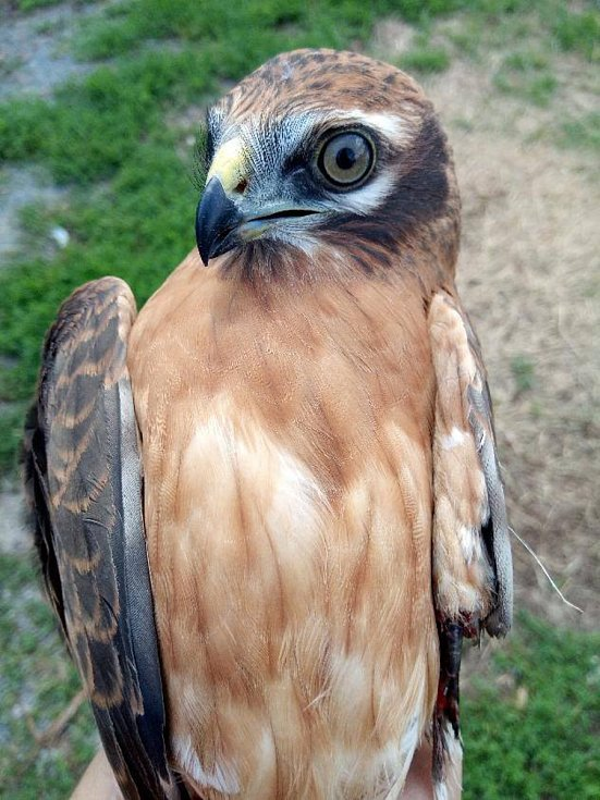 Zraněného motáka lužního mají v péči v Záchranné stanici pro dravé ptáky Rajhrad.