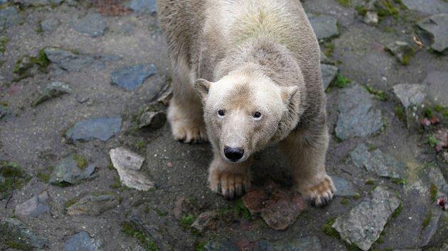 Lední medvědi mlsali mrkev a jablka. Děti si v zoo pohladily lamu