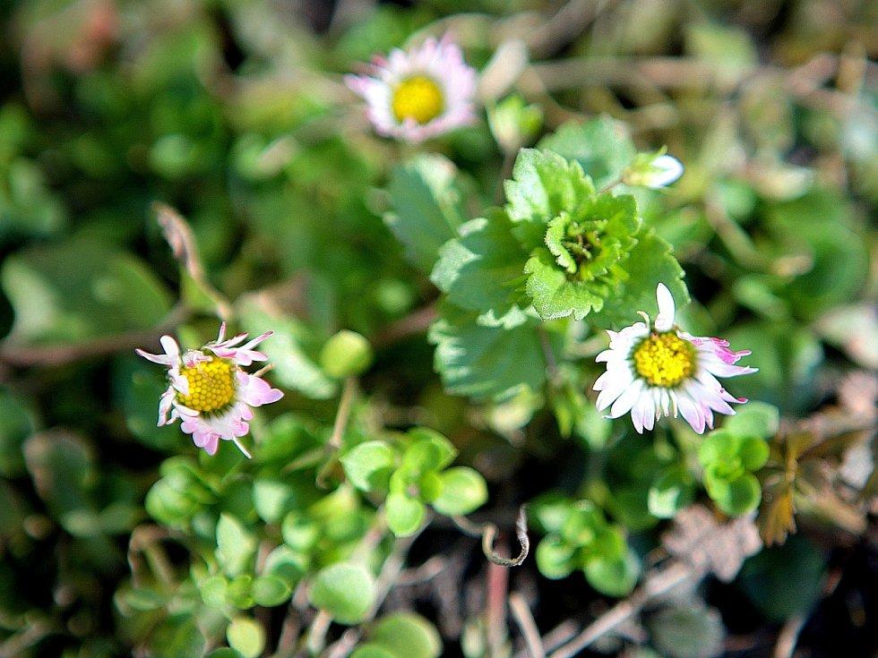 Ačkoli má ještě přijít ochlazení, v brněnských parcích a zahradách už vykvetly první jarní květiny. Například čemeřice.