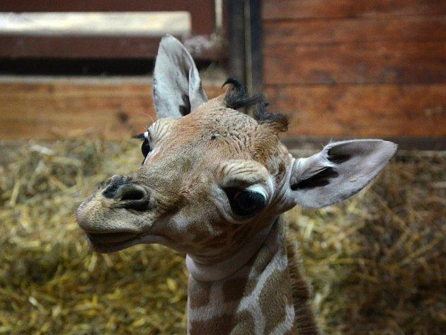 Nový přírůstek vbrněnské zoo. Samička žirafy síťované.