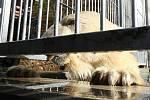 Lední medvěd Umca si poprvé zaplaval v novém bazénu svého výběhu.